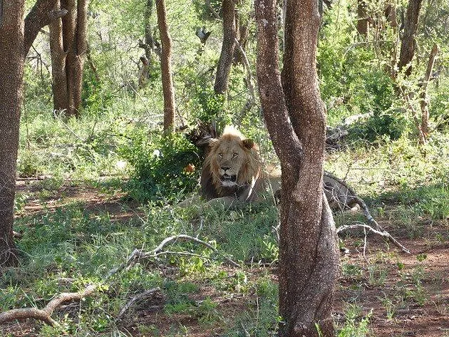 Lion spotted